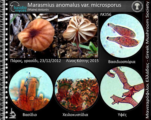 Marasmius anomalus var. microsporus (Maire) Antonín