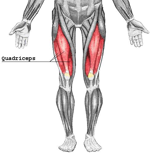 Quadriceps Muscle Quadricep Muscles Diagram