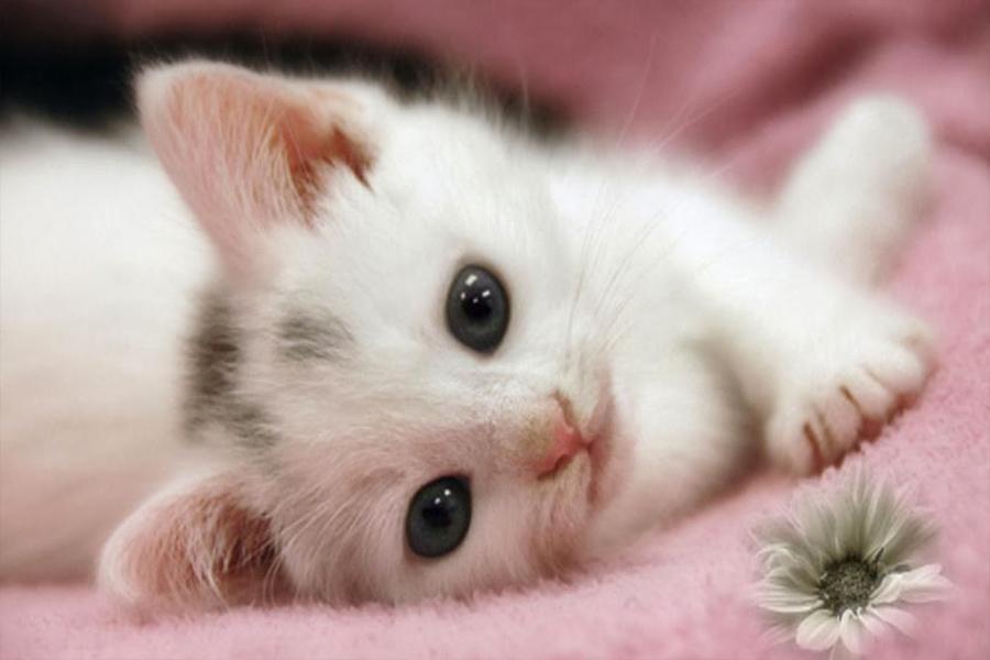 Gambar Kucing Untuk Wallpaper godean.web.id