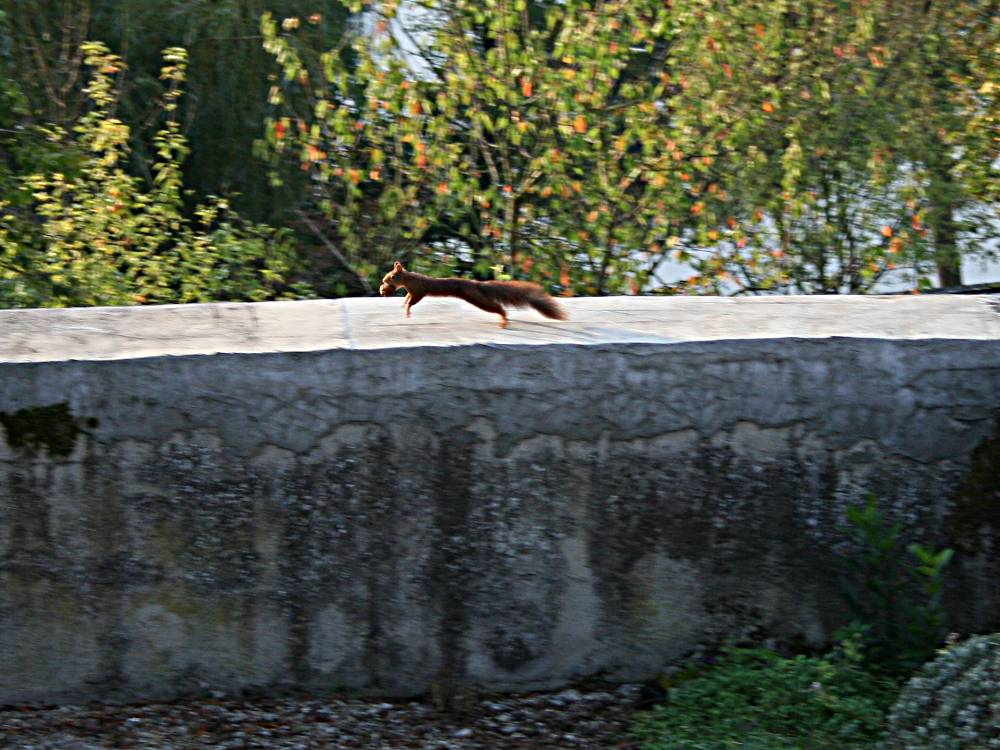 red squirrel running along a wall with a walnut in its mouth