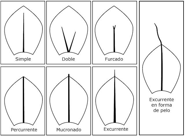 tipos de nervios que tienen los musgos y su excurrencia