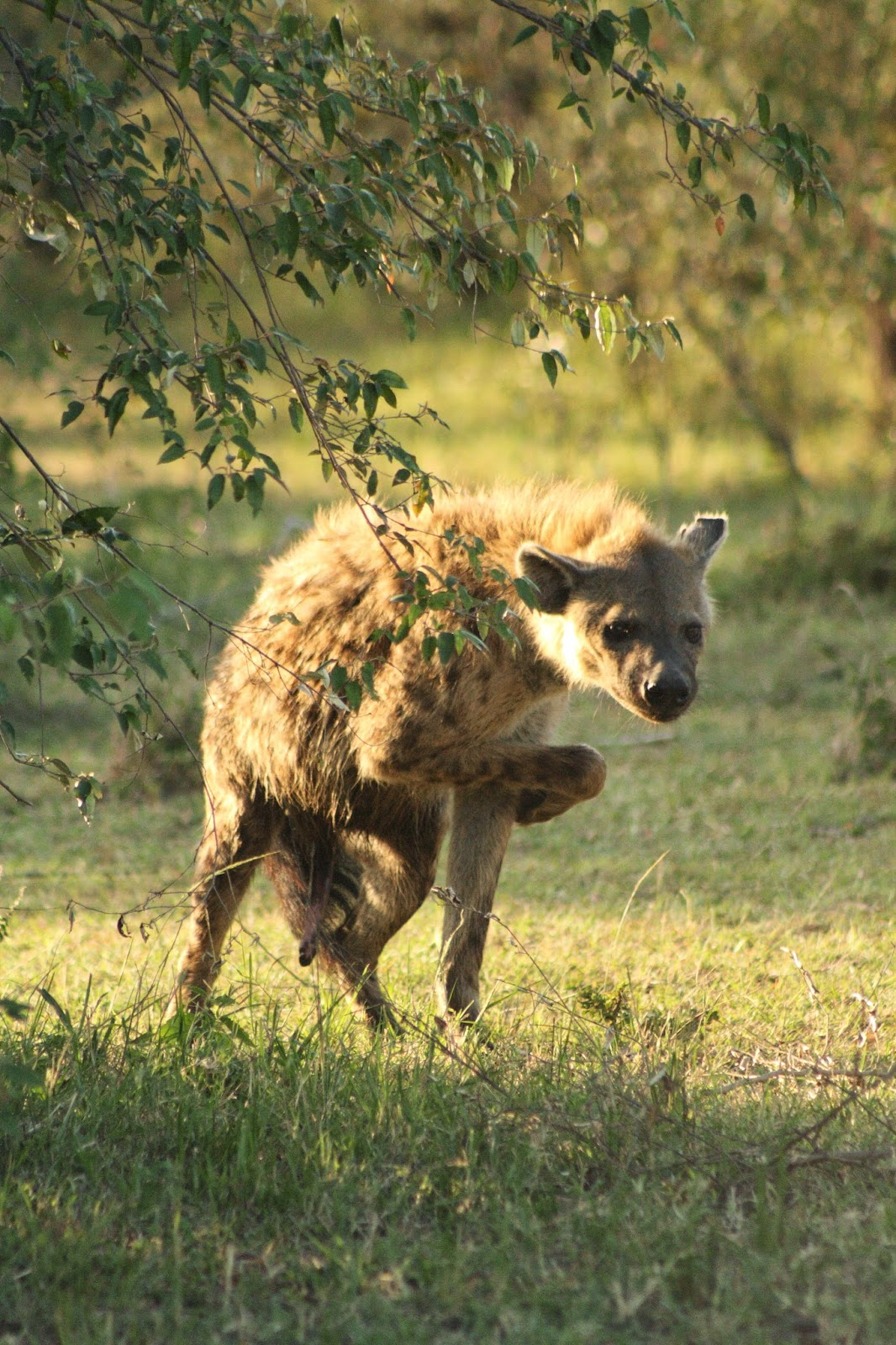 Notes From Kenya: MSU Hyena Research: A Dating Guide for Male Hyenas