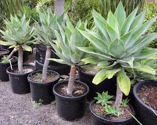 siklok tanaman hias