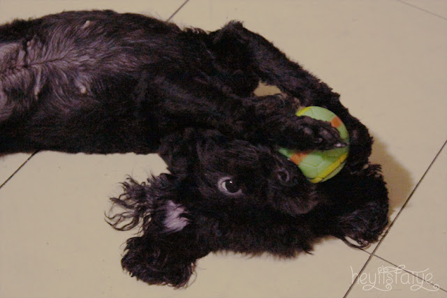 Black toy poodle kawaii cute