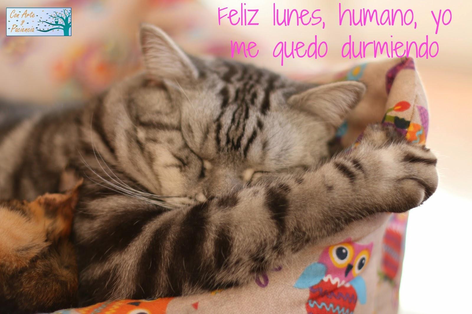 feliz,lunes,humano,durmiendo,gato,gatitos,cat,sleepy,monday,cansados,dormir,levantarse,desperezarse,graciosas,tiernas,british,shorthair,cama,despierta,dejame