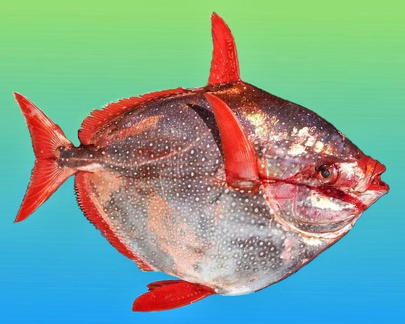 Le blog de la coudouli re le saumon des dieux - Prix du saumon ...