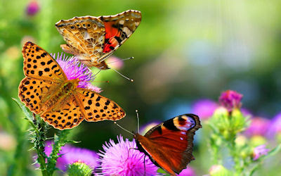 fotos de mariposas sobre las flores - butterfly on flowers - Imágenes gratis de mariposas - Butterflies free photos