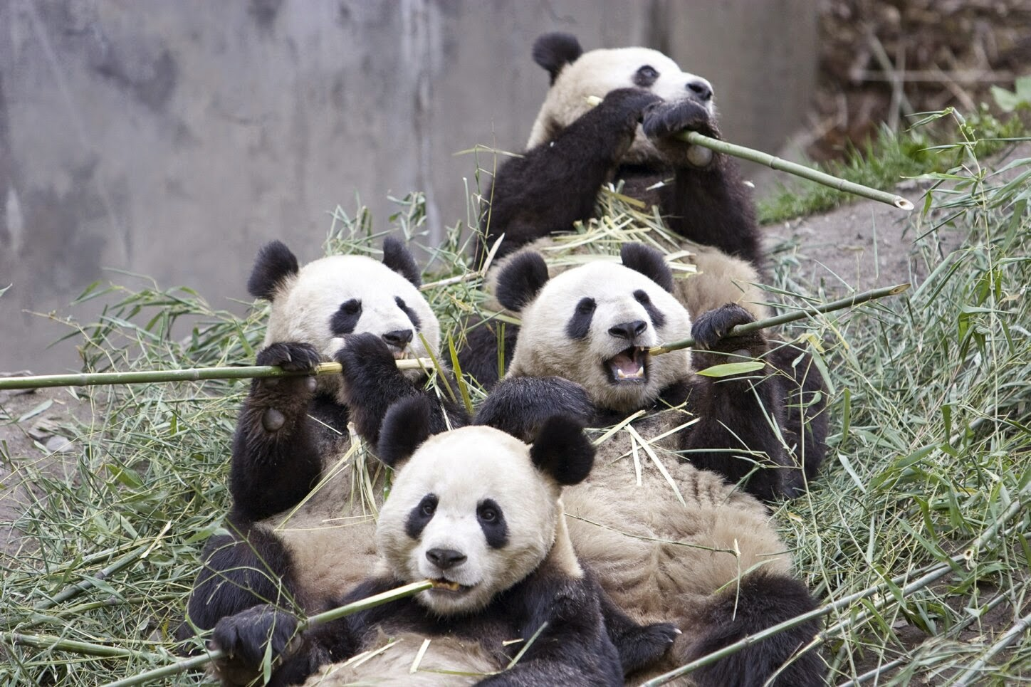 Giant Panda Bear Facts in China - Weird Interesting Facts