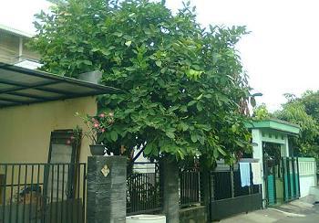 ahmad juniar pohon peneduh halaman rumah