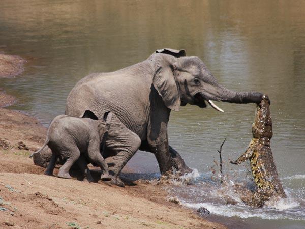 Elephant preyed by Crocodile