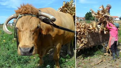 Carregar palha do milho para sustento da vaca