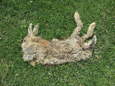 Mxyomatosis  - Rabbit (Glaisdale Moor)