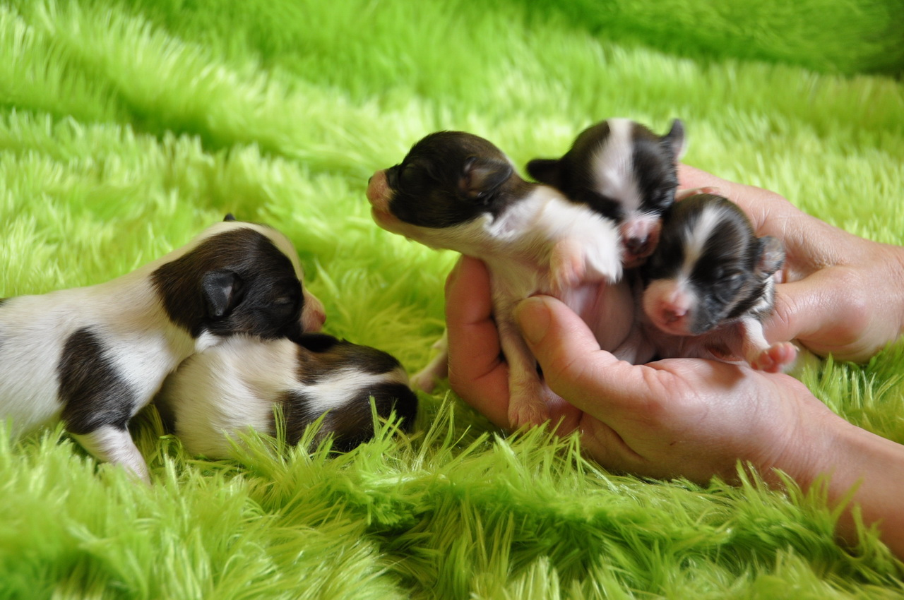 Roads End Papillons 1 Week Old Papillon Puppies