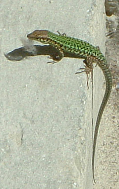 Maltese Wall Lizard (male).  On steps between Admin building and Block 10
