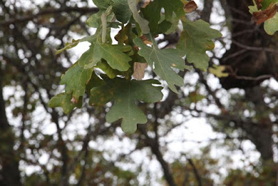 bur oak, late October