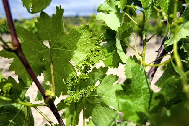 Nacimiento de las Uvas - Rioja Alavesa