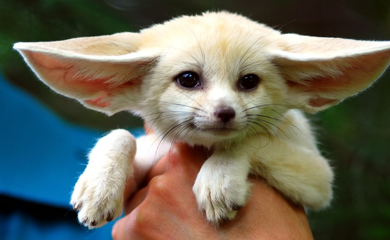 Fennec hare hoax - photo#17