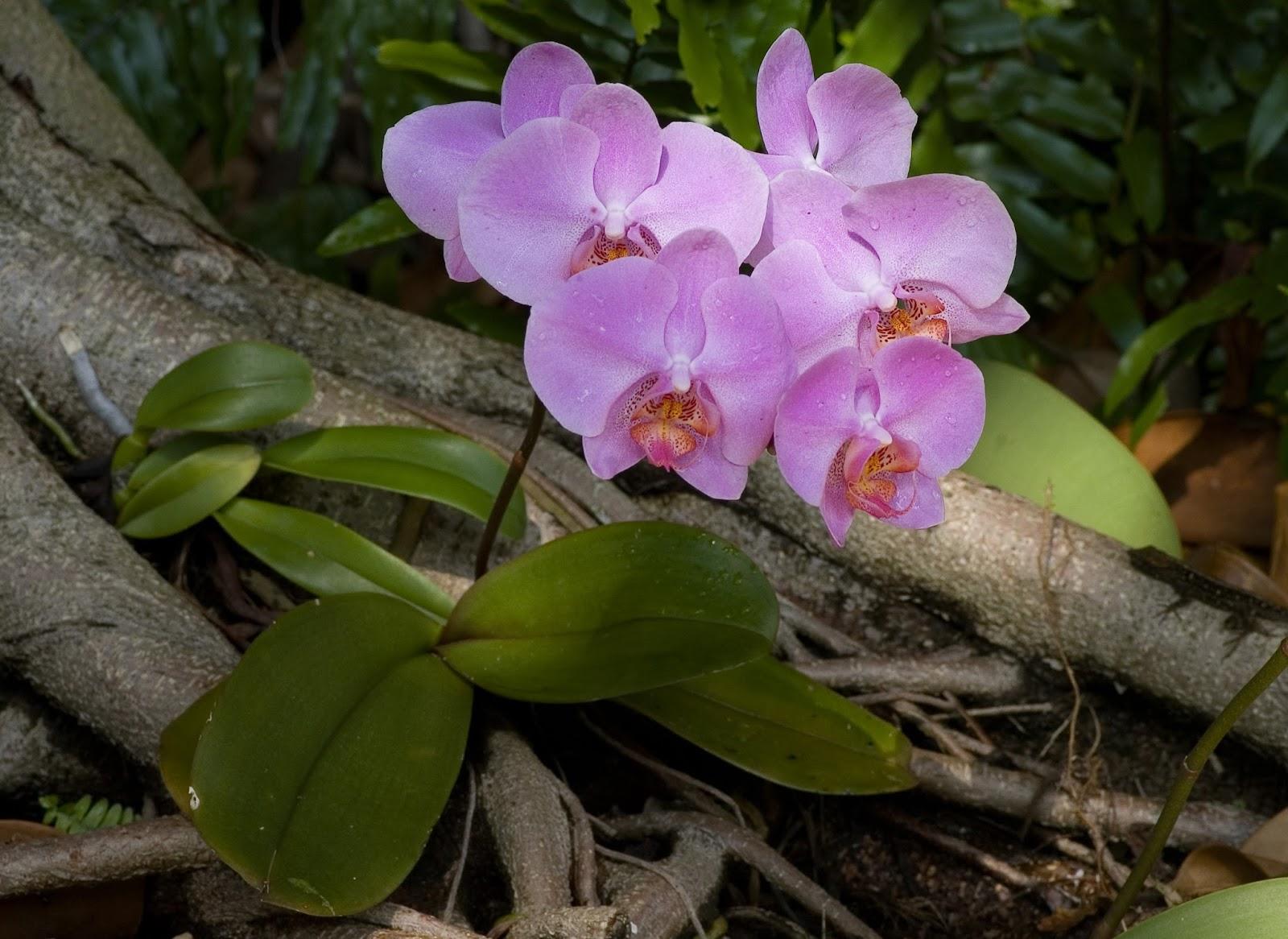 Peces y plantas ornamentales phalaenopsis orqu deas for Raices ornamentales
