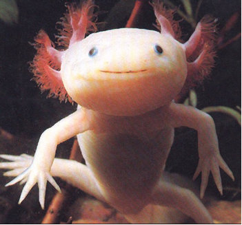 Android Phones Wallpapers: Android Wallpaper Axolotl