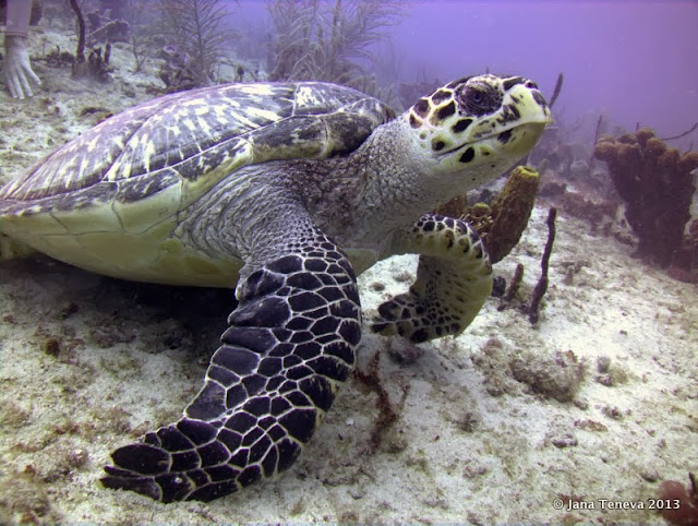 hawksbill turtle in les Saintes