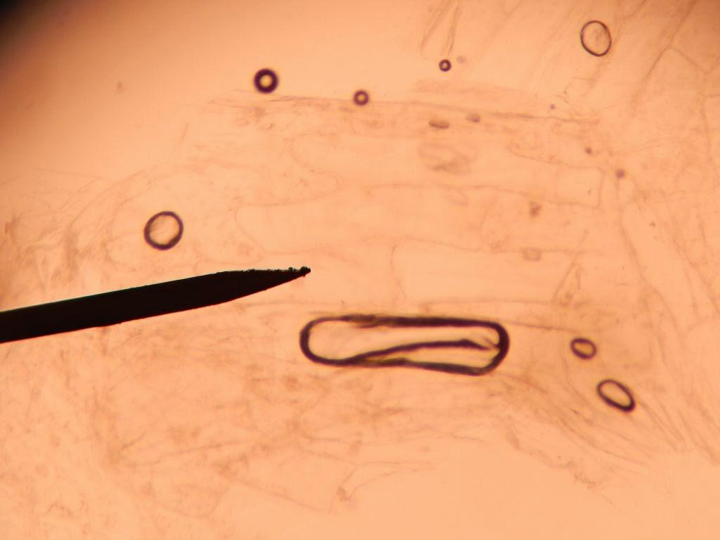 Bio Geo Nerd: Plant Cell Structure (Plant Bio Lab 2)