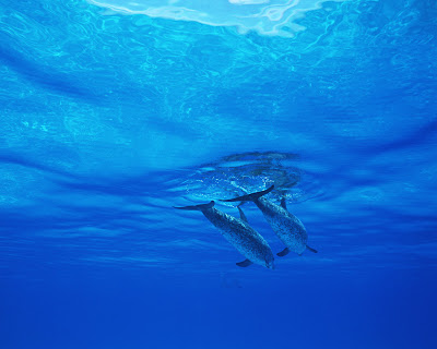 Dolphin_Wallpaper_07