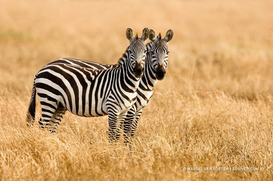 10. Siamese Twins by Marsel van Oosten