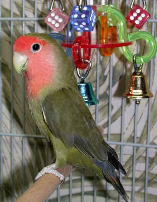 Lovebird Olive Ijo - Aneka Jenis Burung Lovebird