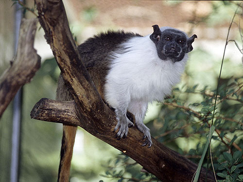 15 Animals That Are In Danger Of Extinction (Unless We Try To Protect Them) - Pied Tamarin (Saguinus bicolor)