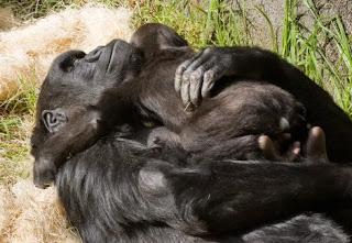 mãe gorila e gorilinha