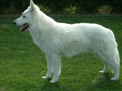 perro pastor blanco suizo fotos
