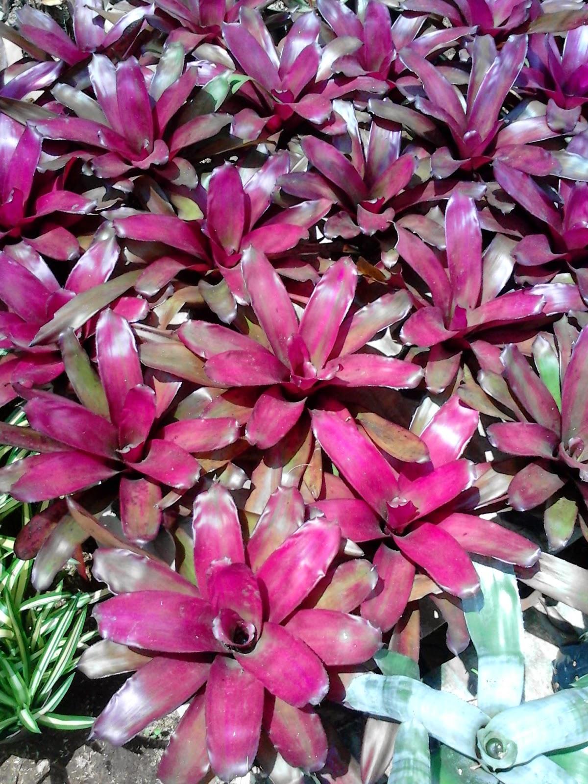 Jual pohon bromelia purple star, red dunhil, pink new, trhee colur | suplier tanaman hias dan rumput taman