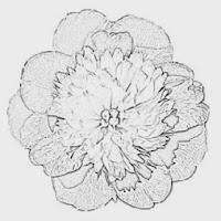 Peony Type Anemone