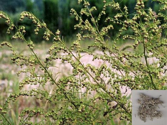 Artemisia capillaris Thunb. (Fam. Asteraceae)