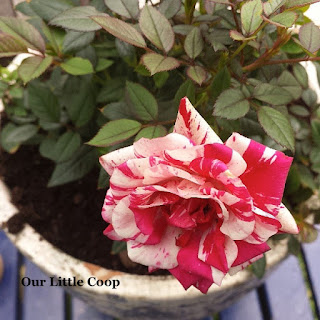 red and white Potted tea rose