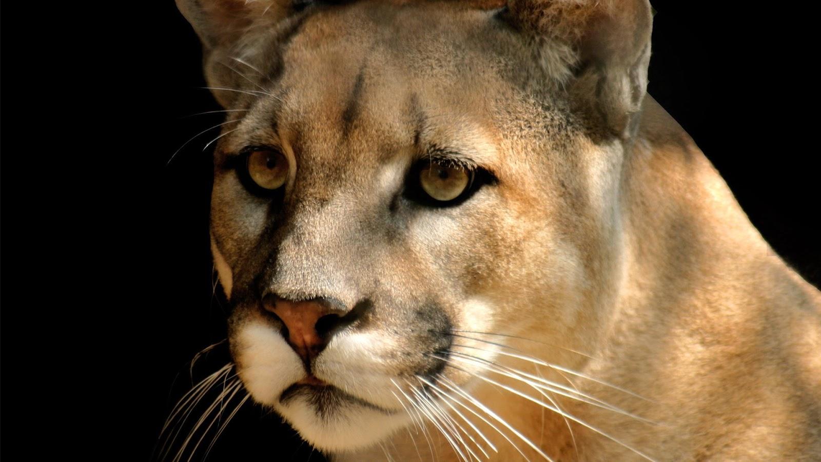 Mountain Lion 7750 Mountain Lion - Cougar...