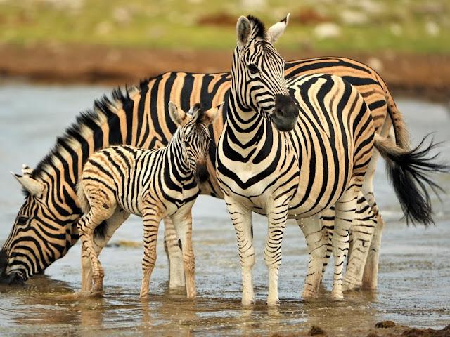 "<img src=""http://2.bp.blogspot.com/-pBPELNpCMDU/UrGm7ELMaLI/AAAAAAAAF8Q/8eoHG7Fb4_Y/s1600/jj.jpeg"" alt=""Zebra Animal wallpapers"" />"
