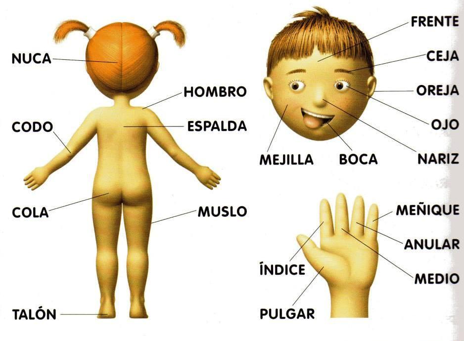 Fantástico Partes Del Cuerpo Humano Externos Ideas - Anatomía de Las ...