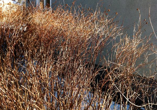 Snöbärsbuske som klippts till hälften
