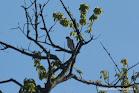 123.- Accipiter (bicolor) chilensis