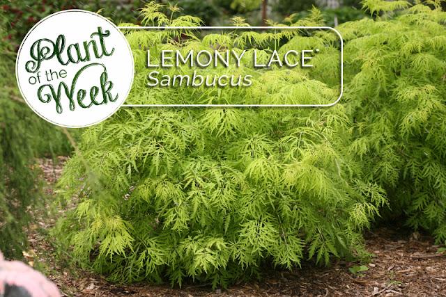Plant of the Week: Lemony Lace elderberry