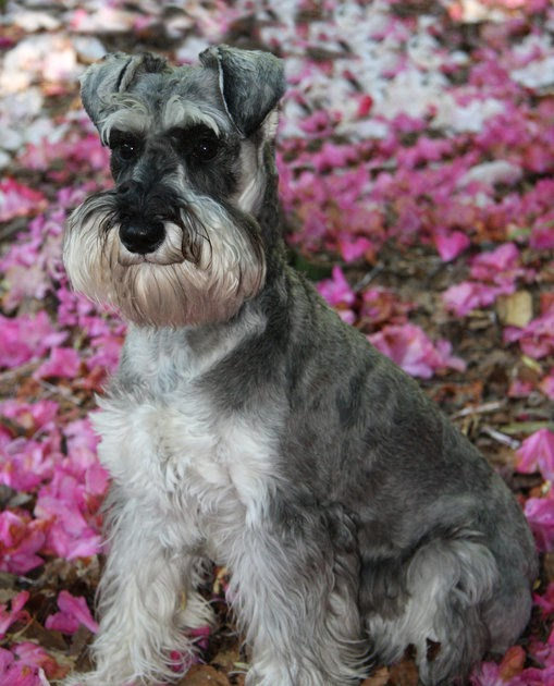 Miniature Schnauzer Dog Picture