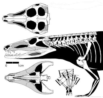 Erpetosuchus skull