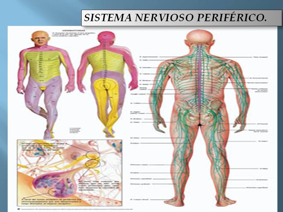 Sistema Nervioso: mayo 2013