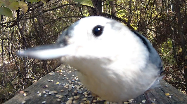 White Breasted Nuthatch Attacks Camera