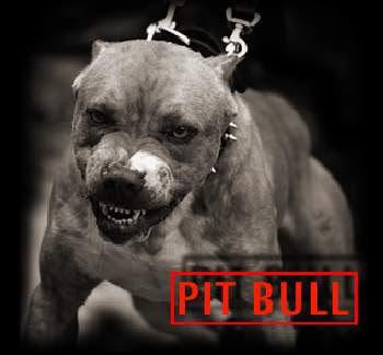 pitbull+bad+image