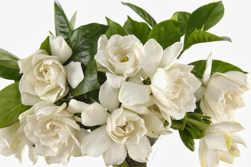 gardenia flower meaning  klejonka, Natural flower