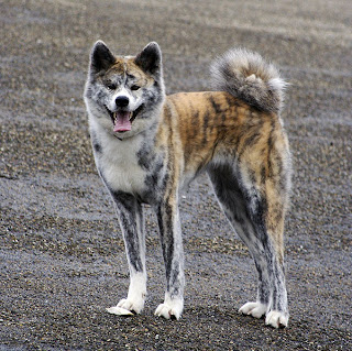 American+Akita-Great+Japanese+Dog.jpg