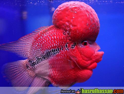 Ikan Flowerhorn Pramong Nomjam Thai Tuala