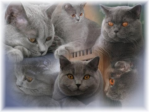 cats and my girl recognized cattery of british shorthair cats la chatte. Black Bedroom Furniture Sets. Home Design Ideas